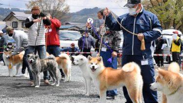 秋田犬保存会时隔两年举办总部展览会   171只秋田犬斗丽争妍