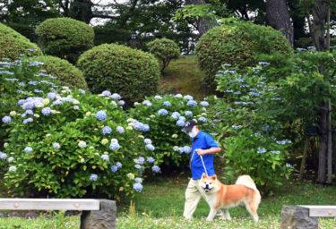怕热的秋田犬,如何度过盛夏?