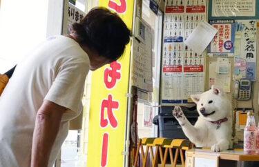 """因""""收银""""视频走红!酒品店的招牌犬——梅子的日常生活(4)与常客互动"""