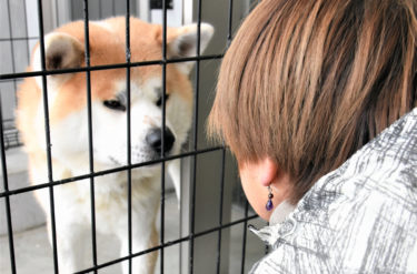 Proper Training Shows Positive Change for an Akita Dog