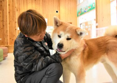 Proper Training Can Change His Life – The Akita Dog Taiga's Journey