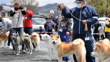Akita Dog Spring Exhibition was Held for the First Time in Two Years