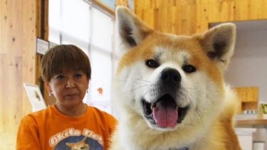 Continues Steady Training for His Debut -The Akita Dog Taiga's Journey