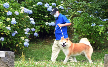 How Do the Akita Dogs Survive the Summer Heat?