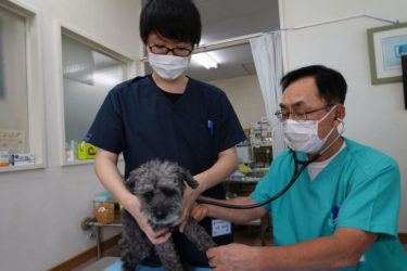 """Veterinarian's Advice about How to Keep Akita Dogs in Summer: """"Be Careful of Heatstroke"""""""