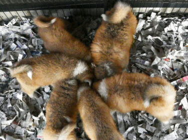 Sneak in! Watch Fluffy Akita Dog Puppies Having Breakfast (2) Pups Bind Together as Rugby Scrum