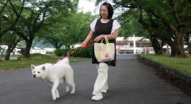 Cashier Video of Akita Dog Went Viral! (1) Explore the Daily Life of Umeko, the Signboard Dog of a Liquor Store – Umeko's Morning Walk