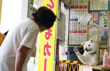Cashier Video of Akita Dog Went Viral! (4) Explore the Daily Life of Umeko, the Signboard Dog of a Liquor Store – Interacting with Regular Customers