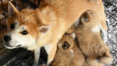 """Sneak in! Watch Fluffy Akita Dog Puppies Having breakfast (4) """"Time to Eat!"""""""