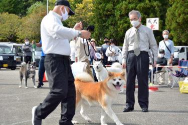 秋田犬46匹、りりしく 大仙市で保存会支部展