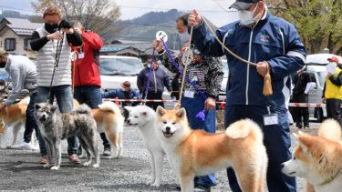りりしい秋田犬勢揃い 本部展、コロナ対策講じ2年ぶり開催