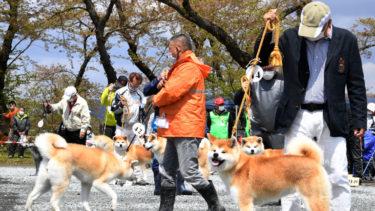 秋田犬保存会「本部展」って、どんな催し? 秋田犬らしい秋田犬を競う長い一日を追ってみた