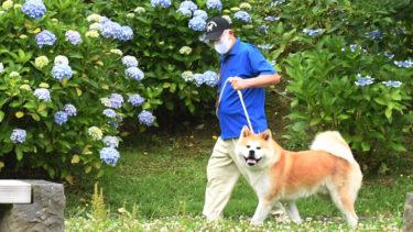 暑さが苦手な秋田犬、夏をどう乗り切る?