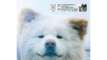 出るか? 次世代スター長毛秋田犬 「わさお大賞」、10月に初の大阪大会